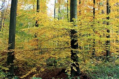 Buchen, Buchenwald, laubwald, Büdinger Wald, Herbst