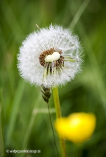 Pusteblume, © wildpeppermint-design.de