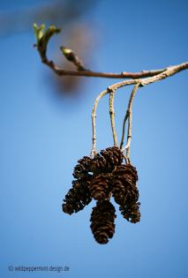Schwarzerle, © wildpeppermint-design.de