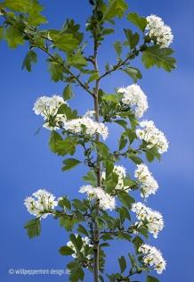 Weißdorn-blühend-vor-blauem-Himmel, © wildpeppermint-design.de
