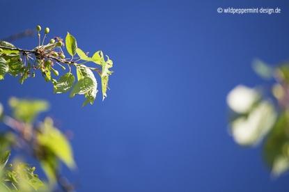 wildkirschenfrüchte, © wildpeppermint-design.de