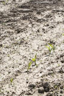 Klimawandel-Trockenheit, maisfeld trocken, rissige erde, trockenheit hessen, wildpeppermint-design.de