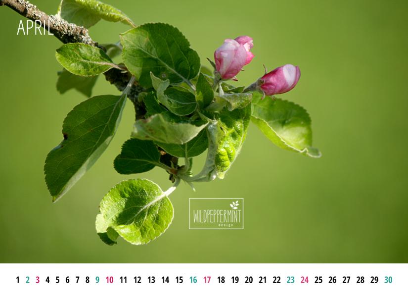 Apfelblüte, Kalenderblatt April 2016 1024x768, © wildpeppermint-design.de