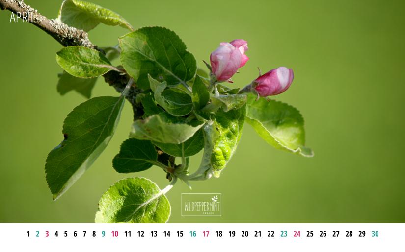Apfelblüte, Kalenderblatt April 2016 1680x1050