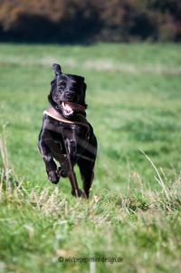 dynamischer labrador retriever, labrador rennt, wildpeppermint-design.de