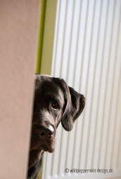 Labrador guckt um die ecke, wildpeppermint-design.de