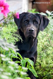 Bürohund, Labrador, im-Terrassengarten, Labrador Retriever im Garten, wildpeppermint-design.de