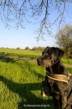 Die Abendsonne mit Hund genießen, Labrador Retriever, Mai, Wiese und Abendsonne, wildpeppermint-design.de