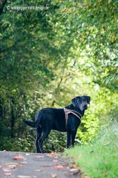 schwarzer Labrador im Herbstwald, wildpeppermint-design.de