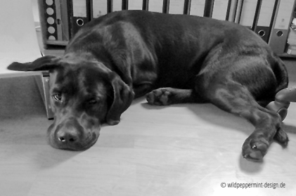 Labrador gelangweilt, bürohund, wildpeppermint-design.de