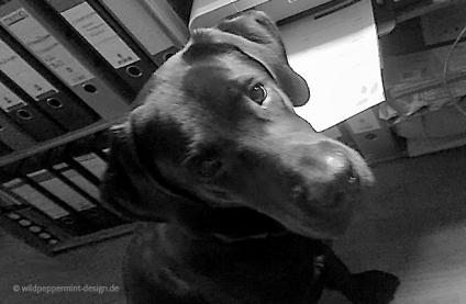 Labrador im Büro, Hund am Drucker, Frauchenblick Hund, wildpeppermint-design.de