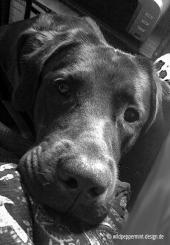 Labrador wartet sehnsüchtig aufs Gassi, Bürohund, wildpeppermint-design.de