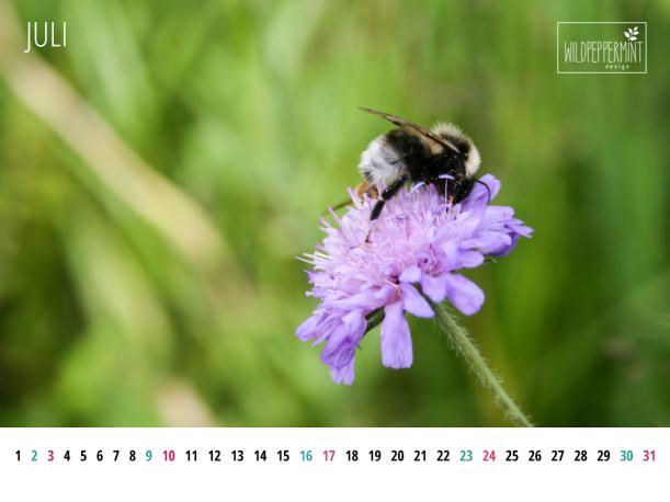 Kalenderblatt Juli 1024 x 768, Gratis Wallpaper, Naturfoto als Wallpaper gratis, hummel auf Wildblume, wildpeppermint-design.de