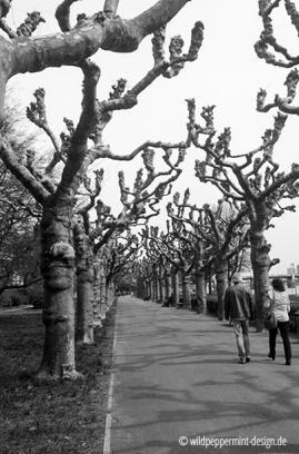 Frankfurt am Main, Mainkai, Robinien im Frühling, wildpeppermint-design.de