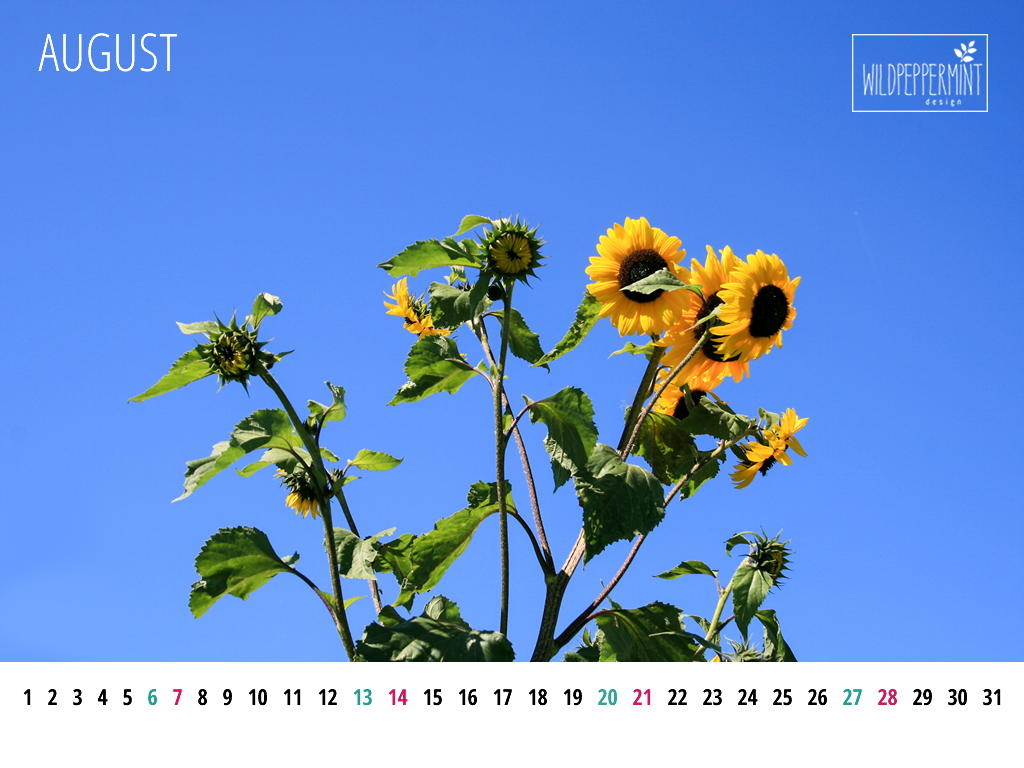 Gratis Wallpaper, Kalenderblatt August 1024x768 px, Wallpaper Sonnenblume, © wildpeppermint-design.de