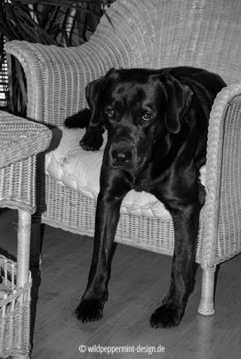 Labrador im sessel, sw-foto, wildpeppermint-design.de