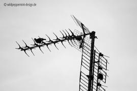 amsel auf alter fernseh-antenne, sw-fotos, wildpeppermint-design.de