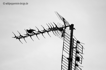 amsel auf alter fernseh-antenne, sw-fotos, wildpeppermint-design.de