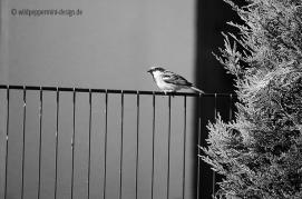 haussperling, vogel auf em zaun, sw foto, wildpeppermint-design.de