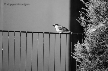 haussperling, vogel auf em zaun, sw foto, wildpeppermint-design.de