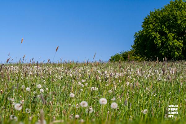 Wiese, Mai, Pusteblumen, Himmelblau, Naturfoto, wildpeppermint-design.de