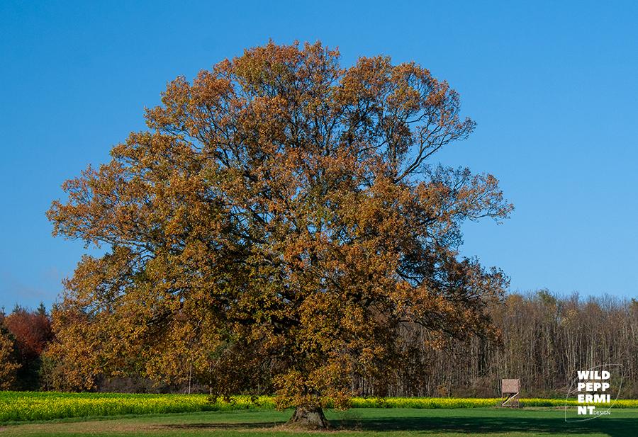 Eiche, Herbst, Naturdenkmal
